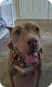 American Pit Bull Terrier/American Staffordshire Terrier Mix Dog for adoption in Gilbert, Arizona - Nana