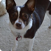 Rat Terrier/Chihuahua Mix Dog for adoption in Hedgesville, West Virginia - Tyrone