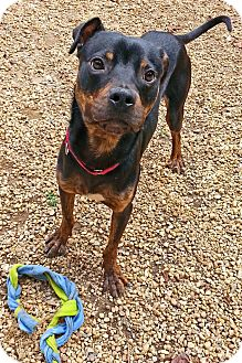 Rottweiler Mix Dog for adoption in Richmond, Virginia - Lucius