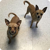 Chihuahua Puppy for adoption in Kansas City, Missouri - Chip & Dale