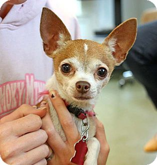 Chihuahua Dog for adoption in Durham, North Carolina - Belle