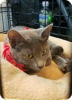 Domestic Shorthair Kitten for adoption in Oakhurst, New Jersey - Olivia