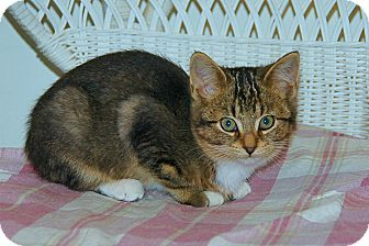 American Shorthair Kitten for adoption in Victor, New York - Misty