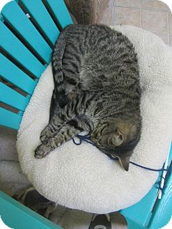 Domestic Shorthair Cat for adoption in Mobile, Alabama - Tigger