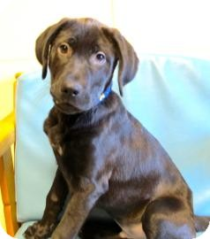 Labrador Retriever Mix Puppy for adoption in Jackson, Michigan - Mickey