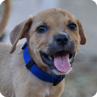 Labrador Retriever/Terrier (Unknown Type, Medium) Mix Puppy for adoption in Phoenix, Arizona - Briana