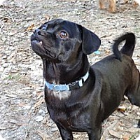 Adopt A Pet :: Doug the Puggle - Cantonment, FL