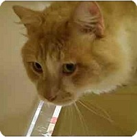 Adopt A Pet :: Nicholas - Houston, TX