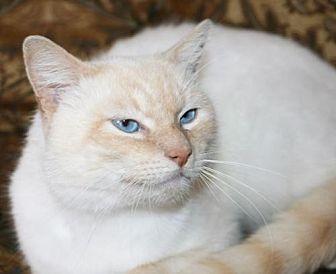 Siamese Cat for adoption in Atlanta, Georgia - Boris