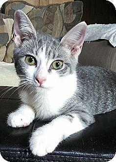Domestic Shorthair Cat for adoption in Brighton, Missouri - Priscilla