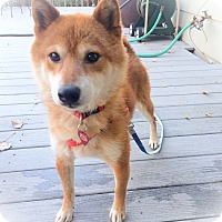 Adopt A Pet :: Toshi - Centennial, CO