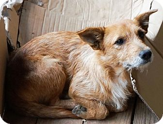 Wirehaired Fox Terrier Mix Dog for adoption in Memphis, Tennessee - Brownie