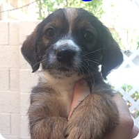 Adopt A Pet :: Fudge - Las Vegas, NV