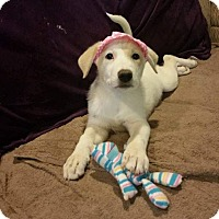 Adopt A Pet :: Indy - Arrives Early July! - Ascutney, VT