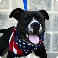 American Bulldog Dog for adoption in Lake Jackson, Texas - Buster
