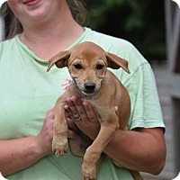 Adopt A Pet :: Daisi - Groton, MA