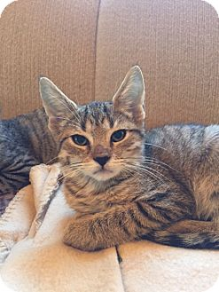 Domestic Shorthair Kitten for adoption in Little Falls, New Jersey - Brinn (LE)