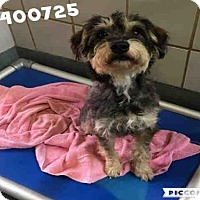 Adopt A Pet :: BIGGIE SMALLS - San Antonio, TX