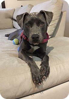 Pit Bull Terrier Mix Dog for adoption in Boston, Massachusetts - Mattie
