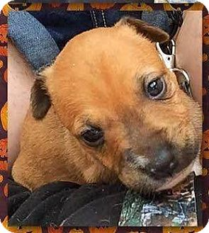 Boxer Mix Puppy for adoption in Coldwater, Michigan - Joy