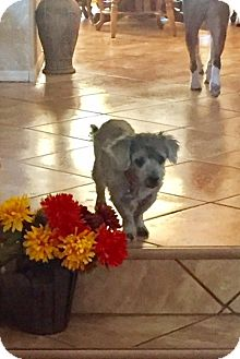 Yorkie, Yorkshire Terrier/Poodle (Miniature) Mix Dog for adoption in Chandler, Arizona - Chance