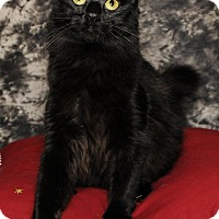 Domestic Longhair Cat for adoption in Wayne, New Jersey - Adrianna