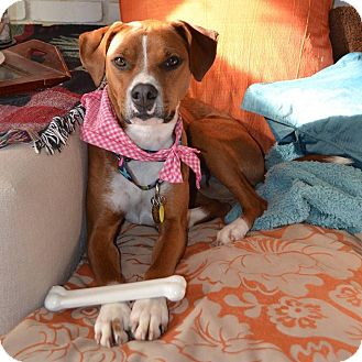 Boxer/Hound (Unknown Type) Mix Dog for adoption in Farmington, Michigan - Brooklyn