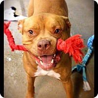American Staffordshire Terrier/Boxer Mix Dog for adoption in Hartford City, Indiana - Simba