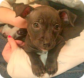 Terrier (Unknown Type, Medium) Mix Puppy for adoption in Troy, Michigan - Izzy