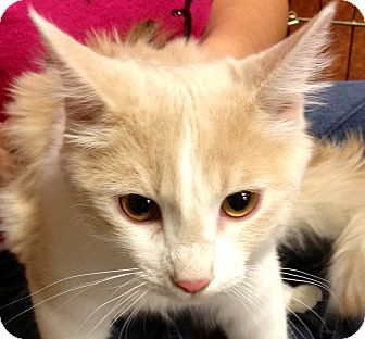 Domestic Mediumhair Kitten for adoption in Chandler, Arizona - Data