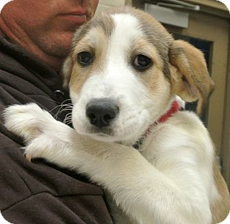 Collie Mix Puppy for adoption in white settlment, Texas - Snowball