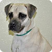 Adopt A Pet :: Chanel - Port Washington, NY