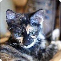 Adopt A Pet :: Beauty's baby1 - Scottsdale, AZ