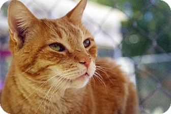 Domestic Shorthair Cat for adoption in Tucson, Arizona - Twizzler