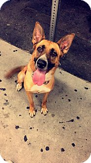Belgian Malinois/Shepherd (Unknown Type) Mix Dog for adoption in Burbank, California - Sugar