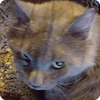 Domestic Longhair Cat for adoption in New Bedford, Massachusetts - Stormy