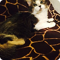 Adopt A Pet :: Swiss Miss - Addison, IL
