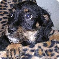 Adopt A Pet :: Rosie boy 1 - Yucaipa, CA