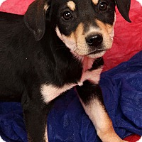 Adopt A Pet :: Bevery BoxHound - St. Louis, MO