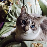 Domestic Shorthair Cat for adoption in Eagan, Minnesota - Agnes