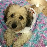 Adopt A Pet :: Snuggie - Hialeah, FL