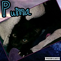 Domestic Shorthair Kitten for adoption in Scottsdale, Arizona - Puma