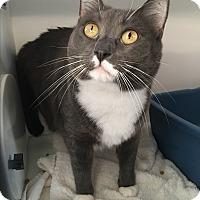 Adopt A Pet :: Blu - Goshen, NY