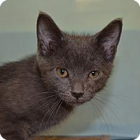 Russian Blue Kitten for adoption in Larned, Kansas - Dusty