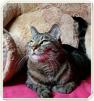 Domestic Shorthair Cat for adoption in North Las Vegas, Nevada - Gidget