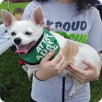 Chihuahua Mix Dog for adoption in St John, Indiana - Tequila