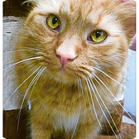 Adopt A Pet :: Marmalade - Webster, MA