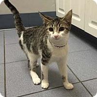 Adopt A Pet :: Cheyanne - Merrifield, VA