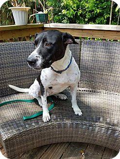 Pointer Mix Dog for adoption in Jacksonville Beach, Florida - Jazz