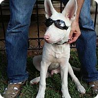 Adopt A Pet :: Jesse - Downey, CA
